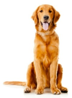 golden_retriever_l3