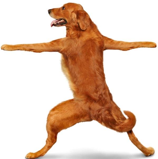 YogaBalletGoldenRetriever