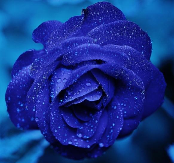 BlueRoseDew