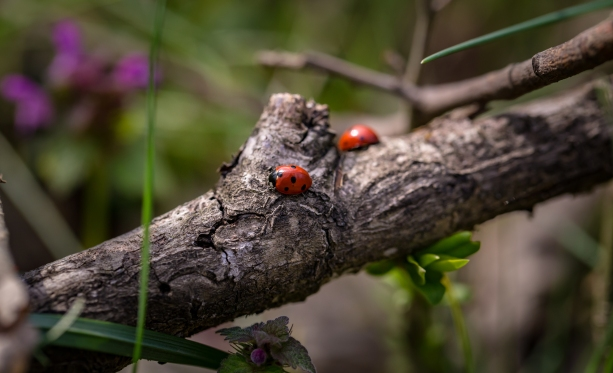 LadyBugsOnBranch