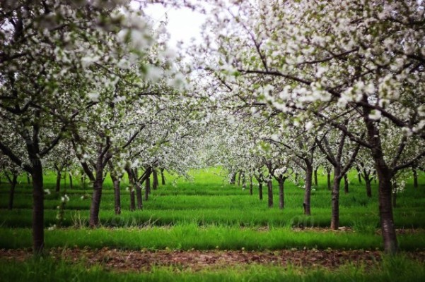 OrchardInSpring